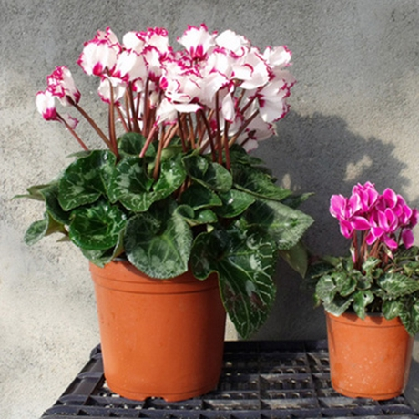 Cyclamen cyclamen flowers potted seedlings large seedlings with flowers ball lunar new year flower cyclamen seedlings flowering seasons