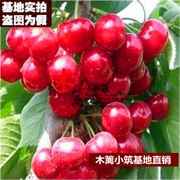 [Dai red 16] cherry seedlings planted courtyard terrace potted seedlings grafted seedlings planted in northern south cherries