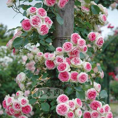 Double happiness day four seasons fujimoto little eden vine climbing rosa multiflora rose tournament small iraqi plantlet