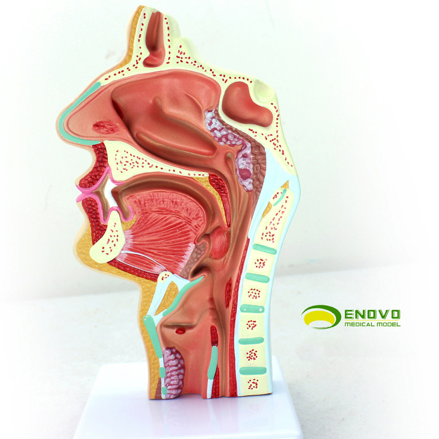 China Nasal Cavity Model China Nasal Cavity Model Shopping Guide At