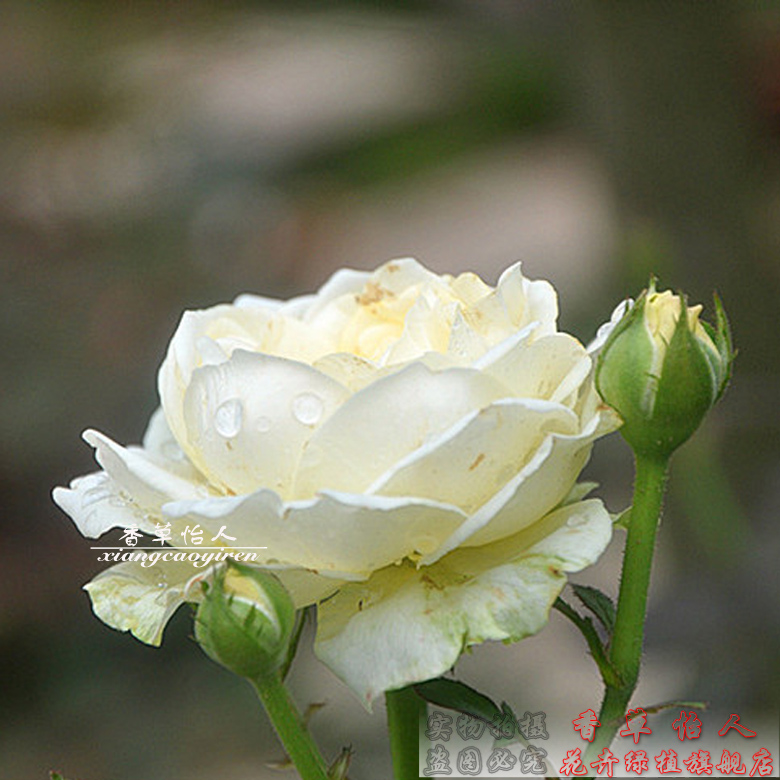 Europe europe rose seedlings last forever snowball opencut rose garden potted four seasons flowering shrubs micro month