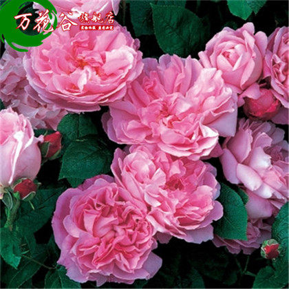 Europe may rose boutique rose seedlings [mary] climbing flower garden balcony potted plants flowering seasons