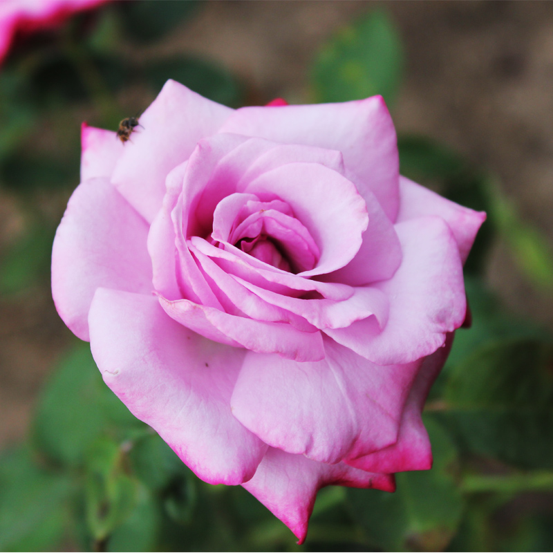 Europe rose blue [blue river] camphoratus strange for balcony flower beauty in the fourth quarter of flowering