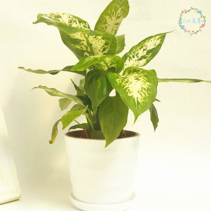 Evergreen green radish pachira lucky bamboo water potted plants within the office of the table surface lazy plant flowers