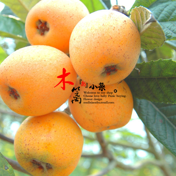 [Flower] loquat loquat loquat fruit tree seedlings baisha pipa pipa tree trees flower seedlings garden plants