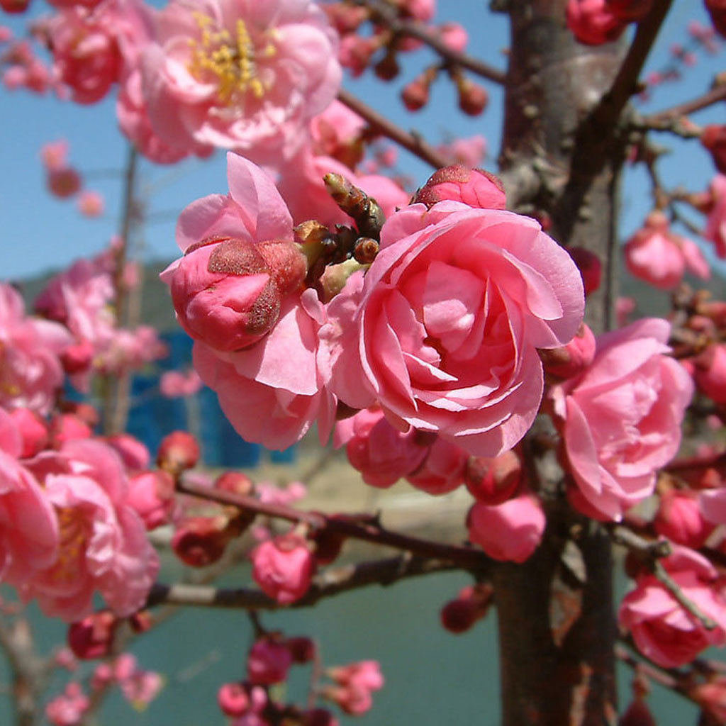 Flower potted flowers flowering plum trees flowering plum trees flowering plum seedlings flowering plum