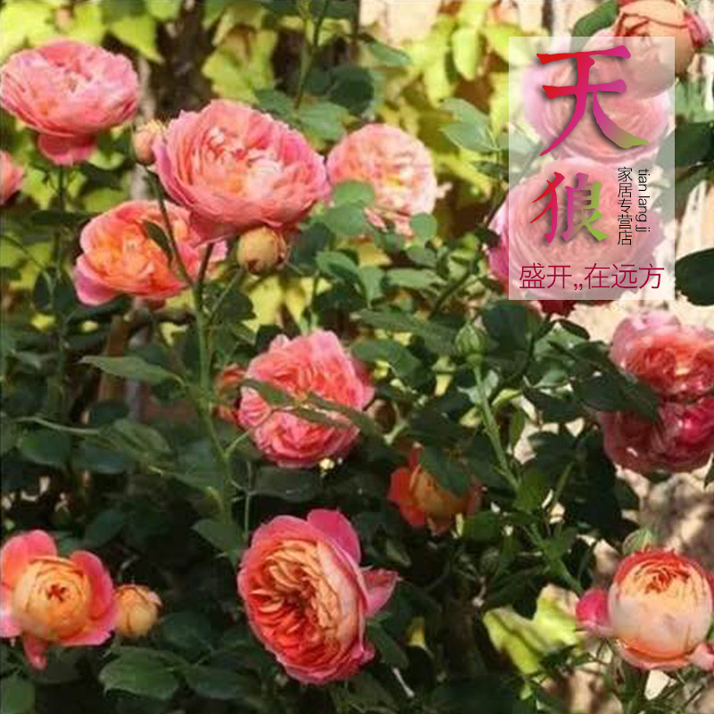 Get Quotations · Fujimoto Romantic Rattan Baby Baby Baby Potted Vine  Seedlings Rose Cuttings Seedlings Europe Rose Month Climbing