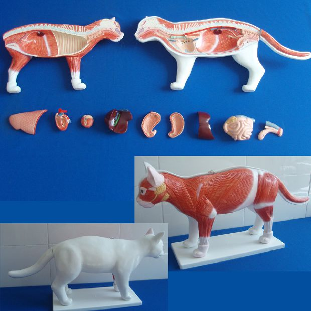 China Anatomical Plastic Model, China Anatomical Plastic Model ...