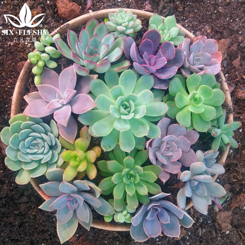 Including seven kinds of color box combination of potted succulents pots small bonsai plants indoor radiation fleshy pots to send Send soil