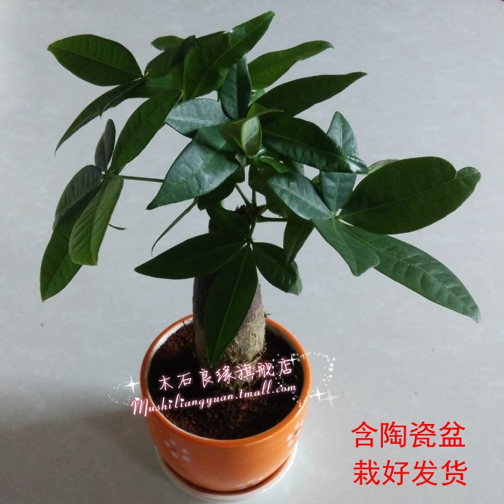 Indoor potted plants pachira pachira braid straight pachira clean air shipping potted green plants