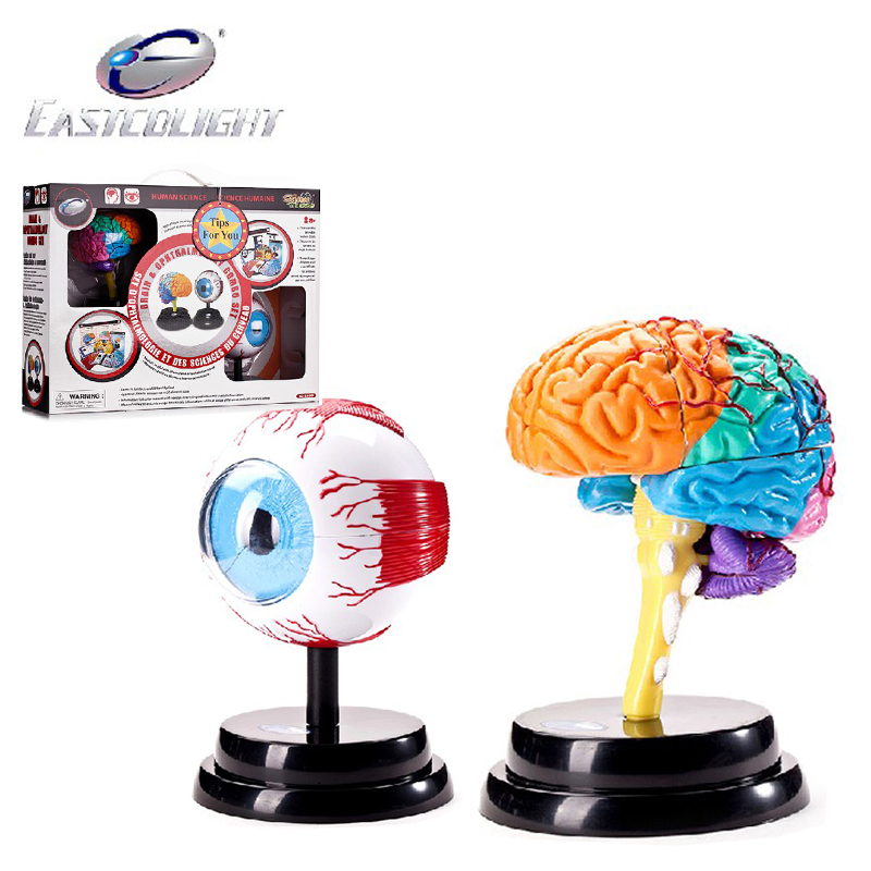 Jardine science experiments toy eye eye and brain brain anatomical model of human health combo kit