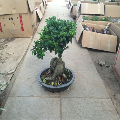 Large potted bonsai tree stump down the pile of old ginseng ficus bonsai banyan banyan small potted planted a tree stump secondhand smoke absorb