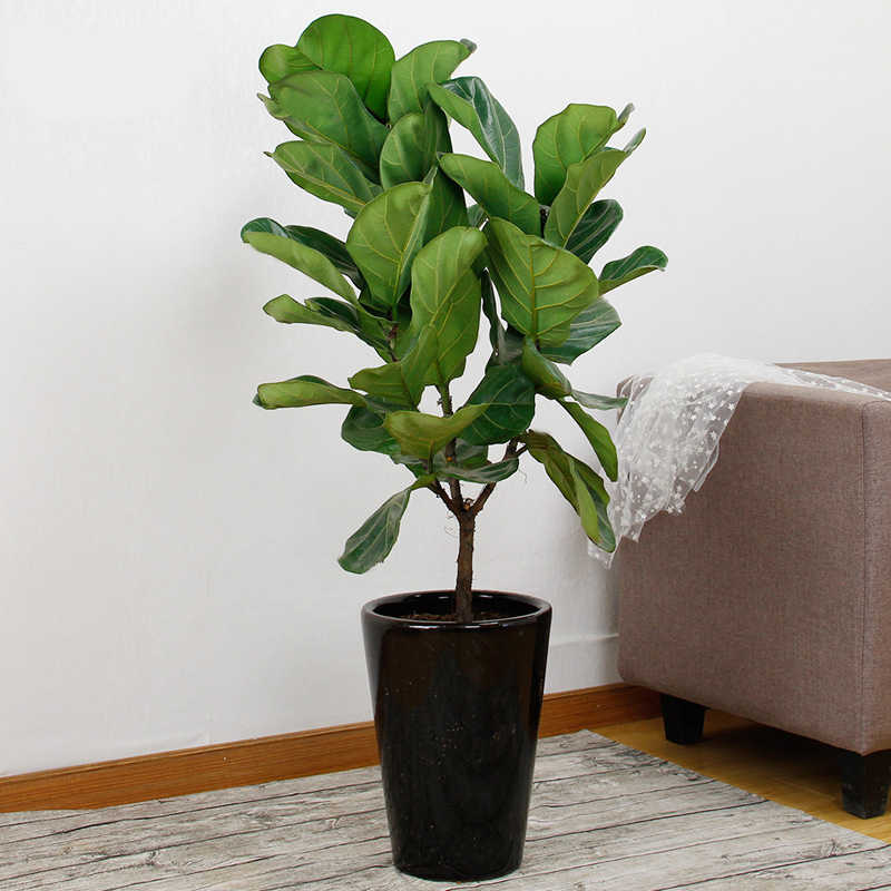 Love is still excellent琴叶榕upscale living room large indoor potted plants pots containing radiation office plants trees
