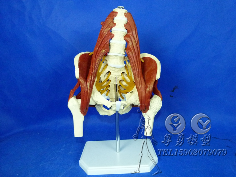 Model of the human spine human spine with pelvis pelvis and lumbar muscle muscle model human skeleton model