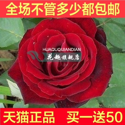 New varieties of rose seedlings potted flower rose [french red] climbing climbing roses flowering seasons