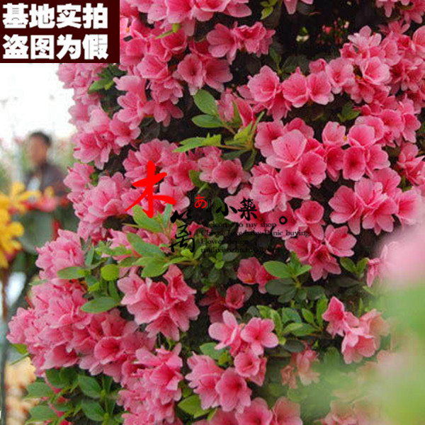 [No. 3] indoor potted flowers potted azalea rhododendron rhododendron rhododendron seedlings flower red silk