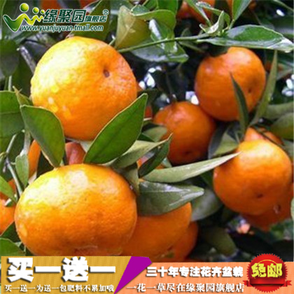 36876a86dd91 Get Quotations · Orange seedlings planted courtyard terrace potted kumquat  orange sugar orange seedlings southern north fang national cultivation
