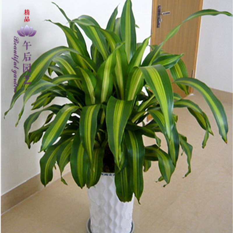 Phnom penh brazilian iron yemen dracaena dragon incense, Potted plants, indoor potted foliage plants wood