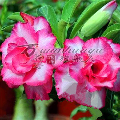 China Desert Rose Plant, China Desert Rose Plant Shopping Guide at ...