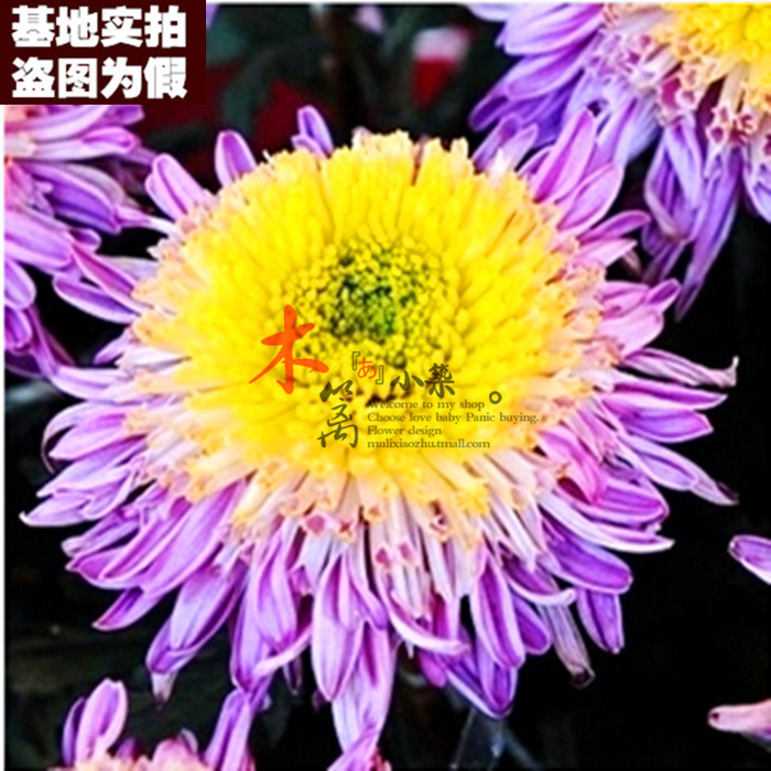 Potted chrysanthemum [15] daisy chrysanthemum chrysanthemum chrysanthemum seedlings when flowering seedlings shipped with the original soil