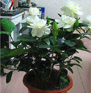 China gardenia yellow china gardenia yellow shopping guide at get quotations balcony indoor potted flowers luzhou gardenia open seasons floral flower plant saplings aromatic plants mightylinksfo