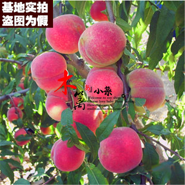 [Purple 15] potted fruit tree seedlings planted seedlings potted peach trees peach seedlings grafted seedlings nectarine peach seedlings