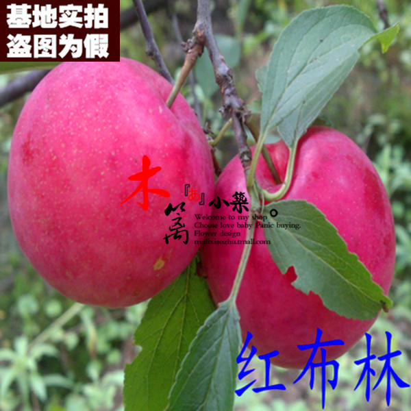[Red brin 15] balcony patio potted fruit tree seedlings planted plum seedlings grafted north and the south are appropriate and promote digestion
