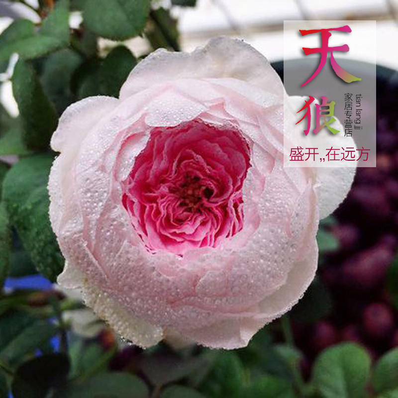 Rose rose flowering seasons moon and my heart shrub rose seedlings potted flower garden plants