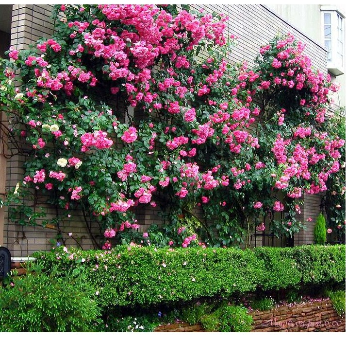 Rose saplings climbing rose flower garden plants potted roses seasons of flowering plants flower flowers free shipping
