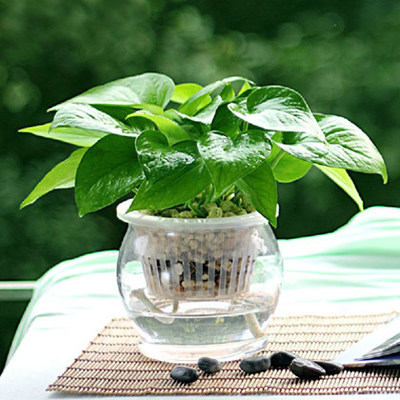 Scindapsus spider plants absorb formaldehyde plant radiation protection office flowers potted soil culture hydroponic plants green radish seedlings
