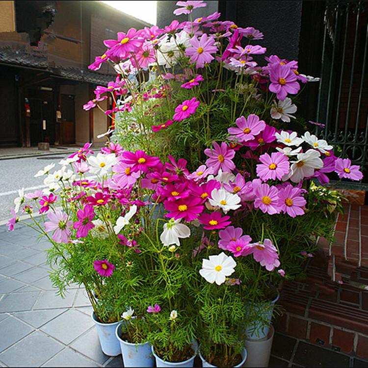 Seasons sowing planting flowers cosmos vanilla flowers balcony flower potted indoor courtyard courtyard son chung bowl lotus