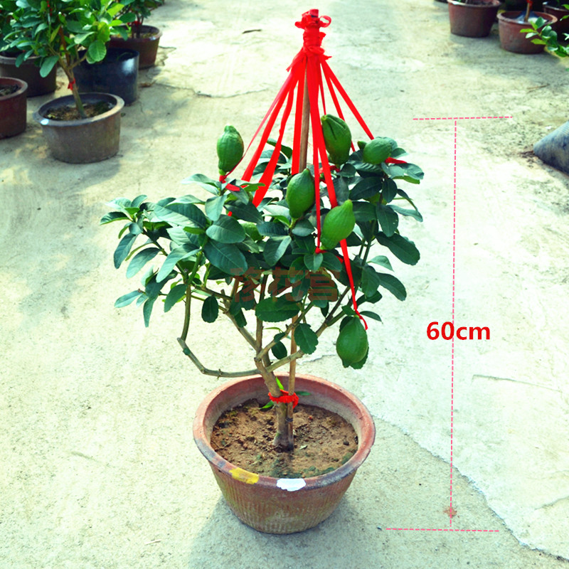 Selection of autumn and winter season bergamot ornamental fruit plants potted bonsai fruit trees potted fruit tree seedlings more than 5 good