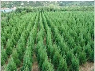 Shu hui tabori cypress pine seedlings cypress cypress seedlings shu hui miao tower pine tree pine cemetery tomb sweeping trees greening projects