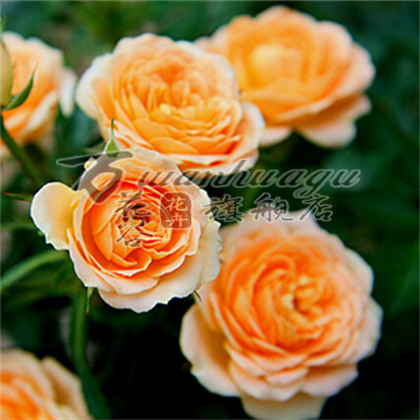 [Spectrum] climbing climbing rose seedlings flower garden balcony potted plants flowering seasons easy to survive