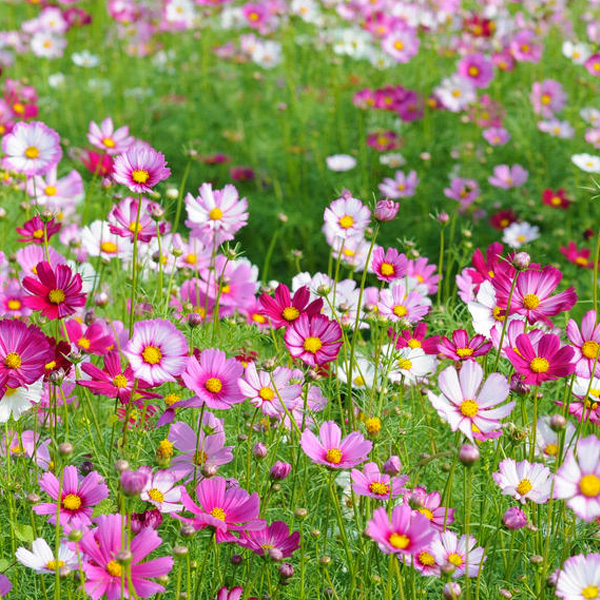 Tall dwarf cosmos gesang seasons kinds of wildflowers combination of flower landscape greening projects