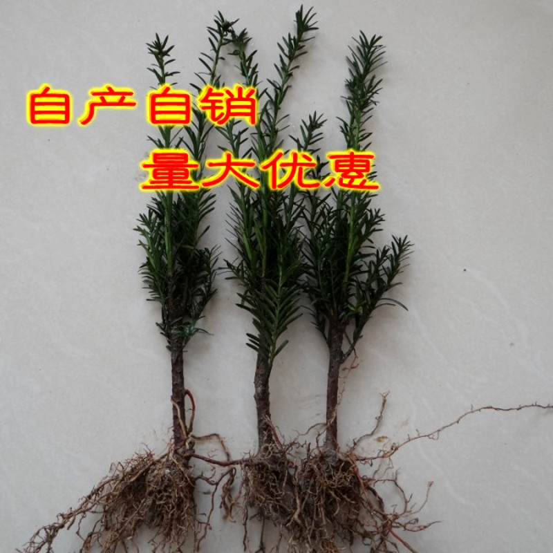Tmhmgr cold-tolerance bonsai yew yew seedlings potted foliage plants suitable for the north and south