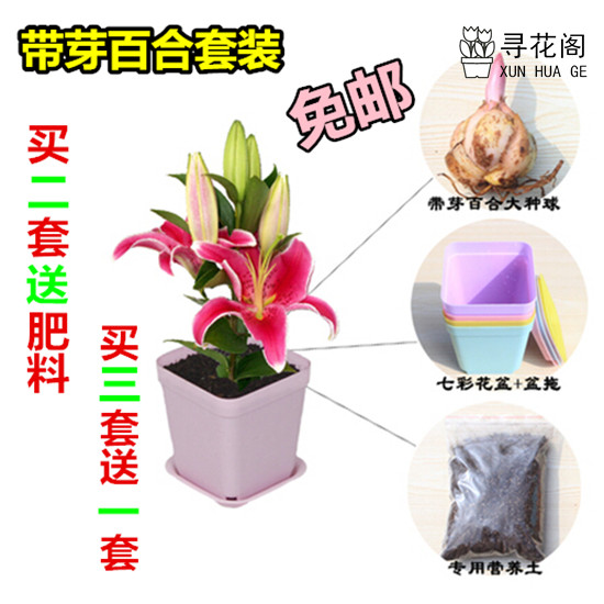 With a bud suit lily white lily flower bulbs indoor potted plants with pots package shipping
