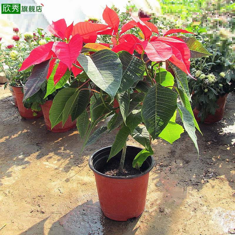 Yan xiu indoor potted christmas flower poinsettia potted poinsettia aka wannianhong sunny red potted plant