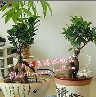Get Quotations · [Pocket] Office Mini Plant Small Banyan Potted Plants Can  Hydroponics