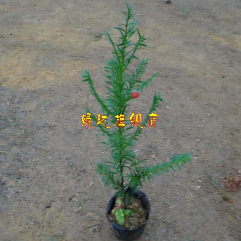 Yew taxus chinensis purify the air yew cup taxus chinensis seedlings indoor potted plant radiation plants