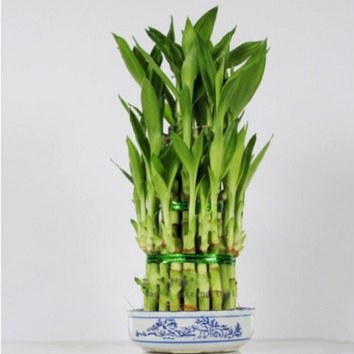 Potted plants purify the air hydroponic water for lucky bamboo lucky bamboo bamboo tower with bottom basin shipping
