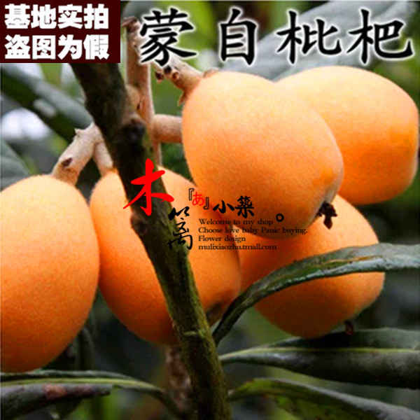 [15] loquat mengzi loquat loquat seedlings baisha pipa pipa tree trees flower seedlings garden plants