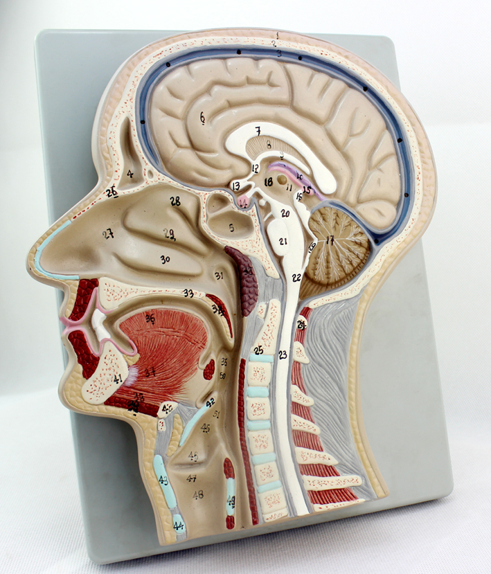 China Human Brain Model China Human Brain Model Shopping Guide At