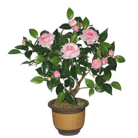 Plum tea flower tea sasanqua camellia sasanqua potted plum plum plum trees seedlings potted flowers potted seedling