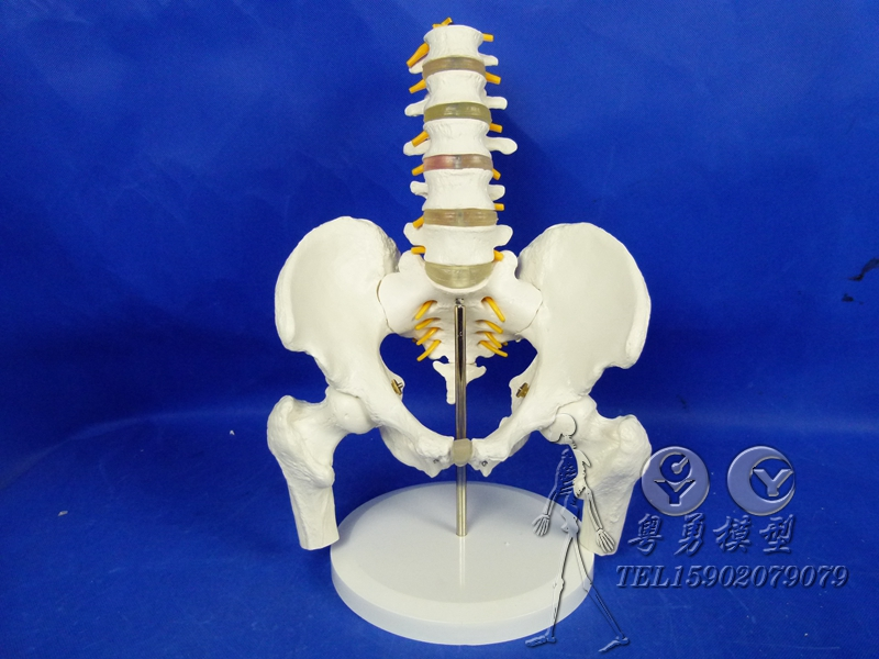A ratio of one half of section 5 of the lumbar spine with pelvis model attached spinal nerve disc femur human skeleton