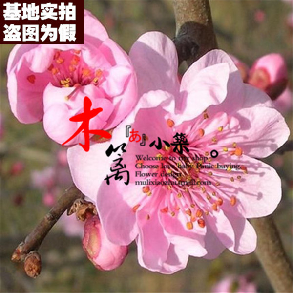 [Beauty boutique 16] when flowering plum plum seedlings potted seedlings planted courtyard balcony