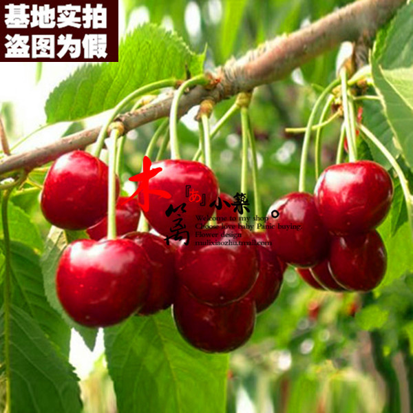 [Cherry king 15] potted planted cherries cherry cherry seedlings grafted seedlings when the knot plantlet suitable for the country