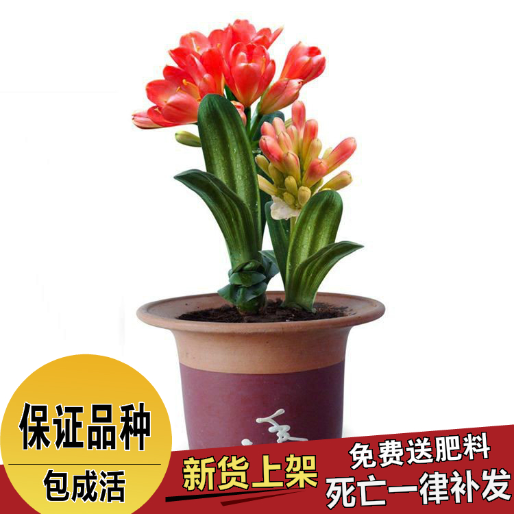 Clivia clivia seedlings potted indoor bonsai plants flowers kinds of choice when flowering damiao more products
