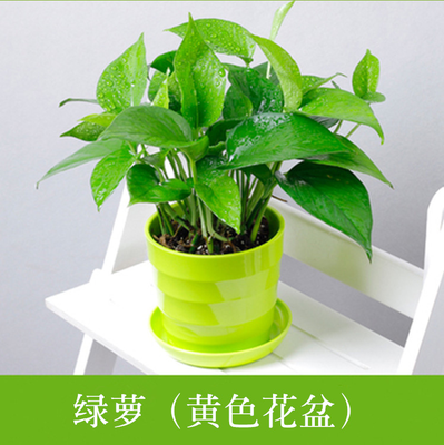Coins grass asparagus green radish spider plant radiation protection office flowers potted plants hydroponic plants absorb formaldehyde