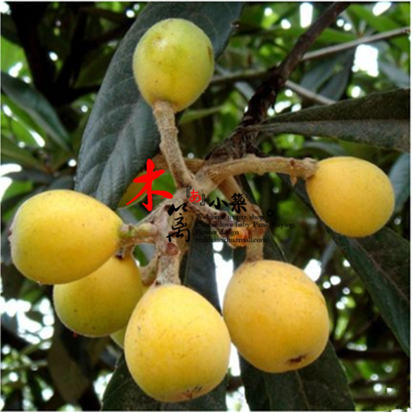 Early [star] loquat loquat fruit tree seedlings baisha pipa pipa tree trees flower seedlings garden plants